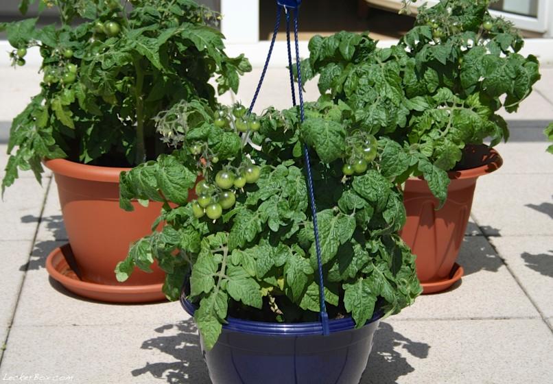 wpid-tomaten1-2012-07-22-21-301.jpg