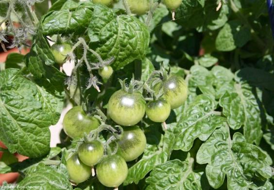 wpid-tomaten2-2012-07-22-21-301.jpg